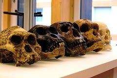 Собрание реплики человеческих предшественников - эволюции человека черепа стоковое изображение