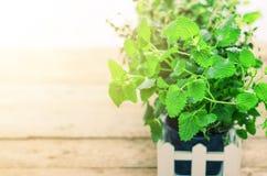Собрание свежих органических трав Мелиссы, мяты, тимиана, базилика, петрушки на деревянной предпосылке знамена скопируйте космос стоковые фотографии rf