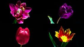 Собрание 4 тюльпанов timelaps зацветая, коллаж 4 видео- размеров 1920 1080 по каждому сток-видео