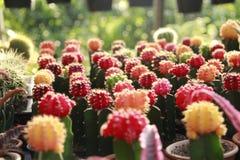 Собрание цветастого кактуса Стоковая Фотография