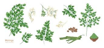 Собрание элегантных детальных ботанических чертежей листьев Moringa oleifera, цветков, семян, плодоовощей Пачка частей  Стоковое Изображение RF