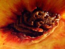 Собрание 10 персика Стоковые Изображения RF