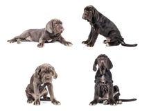 Собрание corso тросточки mastiff молодого щенка итальянского 3 месяца Стоковое Фото