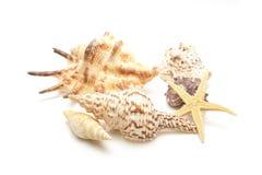 Собрание Seashells Стоковая Фотография RF