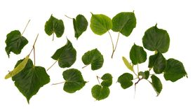 Собрания изолированных цветков и лист липы Стоковые Изображения RF