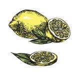 Собрания лимонов вручают вычерченный эскиз llustration вектора Стоковая Фотография