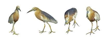Собрания птица индийского grayii цапли или Ardeola пруда Стоковые Фотографии RF