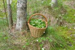Собранные листья, который нужно использовать для целебных травяных чаев в корзине в болоте Стоковые Изображения