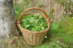 Собранные листья, который нужно использовать для целебных травяных чаев в корзине в болоте Стоковое фото RF