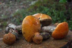 Собранный подосиновик апельсин-крышки на пне Стоковые Изображения RF