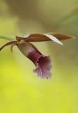 Совершенная орхидея Стоковая Фотография