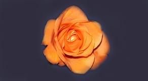 Совершенная свежая роза апельсина Стоковая Фотография