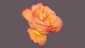 Совершенная свежая роза апельсина Стоковое Фото