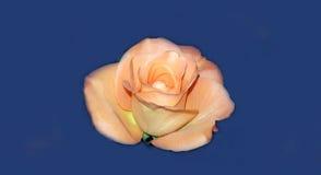 Совершенная свежая роза апельсина Стоковые Изображения RF