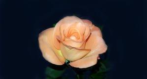 Совершенная свежая роза апельсина Стоковое фото RF