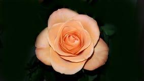 Совершенная свежая роза апельсина Стоковое Изображение RF