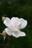 Совершенное цветене Стоковое Фото