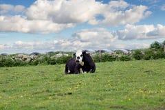 Совершенные коровы фермы на зеленом луге Стоковое Изображение RF