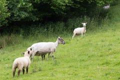 Совершенные коровы фермы на зеленом луге Стоковое фото RF
