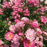 Совершенные розы Стоковые Изображения