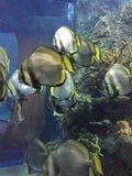 Совершенные рыбы Стоковые Фотографии RF