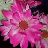 Совершенный розовый цветок Стоковая Фотография