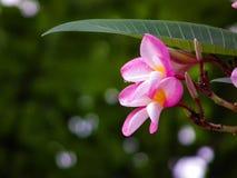 Совместно образ жизни лилии цветка ангела frangipani Стоковые Изображения