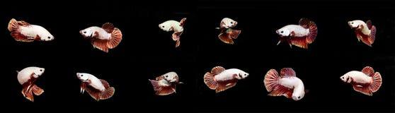 Совмещенные рыбы белых рыб Betta сиамские воюя на черном backgro Стоковая Фотография RF