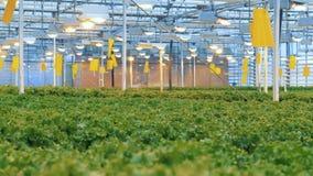 Современная эко-продукция с капельным орошением в парнике Обширные предпосылки парника с обширными плантациями салата акции видеоматериалы