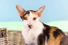 Современный сиамский кот Стоковое фото RF