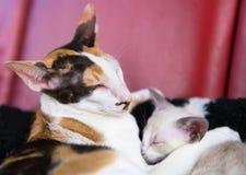 Современный сиамский кот стоковая фотография rf