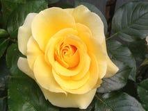 Совсем о розах Стоковая Фотография