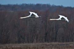 согласие лебедей 2 летания стоковые изображения rf
