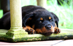 содержимый щенок Стоковая Фотография
