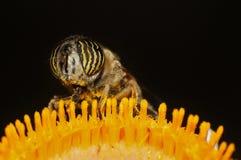 соединенная муха трутня Стоковые Изображения