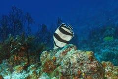соединенное butterflyfish Стоковая Фотография RF