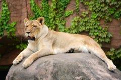 соединенные положения льва Стоковые Изображения