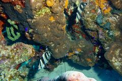 соединенные рыбы бабочки Стоковое Изображение