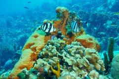 соединенные рыбы бабочки Стоковые Изображения RF