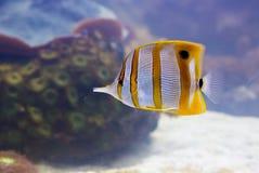 соединенные рыбы меди бабочки стоковая фотография