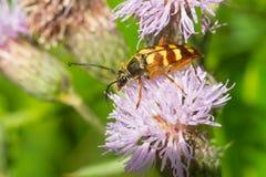 Соединенный жук лонгхорна - velutinus Typocerus Стоковые Изображения RF