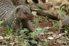 Соединенный Mongoose - Танзания, Африка Стоковые Фото