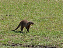 соединенный mongoose Стоковая Фотография RF