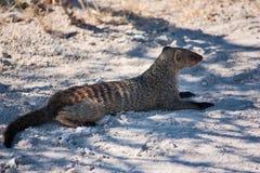 Соединенный Mongoose Стоковые Изображения