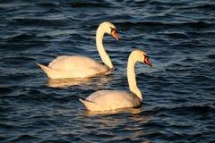 соедините лебедей Стоковые Фотографии RF