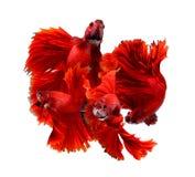 Соедините рыб красного дракона сиамских воюя, рыб betta изолированных дальше Стоковое Изображение