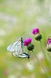 Соединение бабочки Стоковые Изображения RF