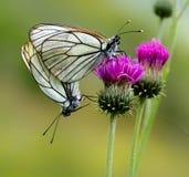 Соединение бабочки Стоковая Фотография RF