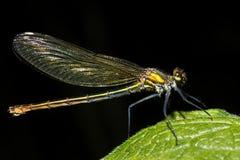 Соединенная женщина demoiselle (splendens Calopteryx) стоковая фотография