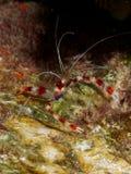 Соединенная креветка 01 коралла Стоковые Изображения RF